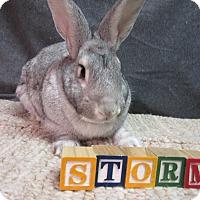 Adopt A Pet :: Storm - Newport, DE