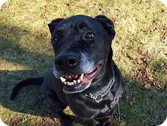 Labrador Retriever Mix Dog for adoption in Peace Dale, Rhode Island - Max