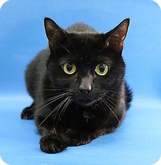 Domestic Shorthair Cat for adoption in Overland Park, Kansas - Blackie