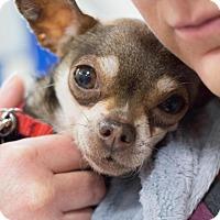 Adopt A Pet :: Tulip - Grand Rapids, MI
