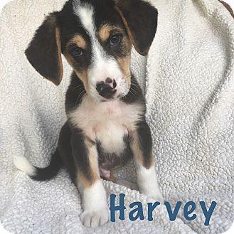 Beagle/Siberian Husky Mix Puppy for adoption in Fort Wayne, Indiana - Harvey