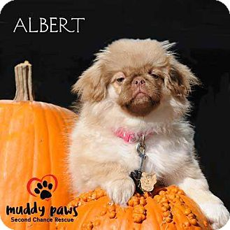 Pekingese Puppy for adoption in Council Bluffs, Iowa - Albert - Pending adoption