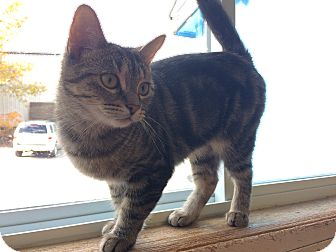 Domestic Shorthair Cat for adoption in Elliot Lake, Ontario - Sneakers