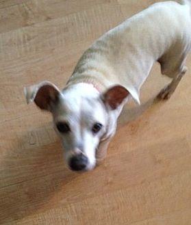 Jack Russell Terrier/Chihuahua Mix Dog for adoption in Rancho Santa Margarita, California - ZZ-Lola *courtesy post