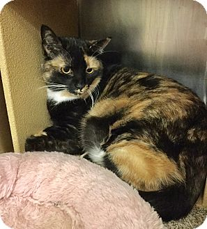 Domestic Mediumhair Cat for adoption in Colmar, Pennsylvania - Flossie