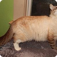Adopt A Pet :: SPICE - LYNX POINT RAGDOLL MIX - Plano, TX