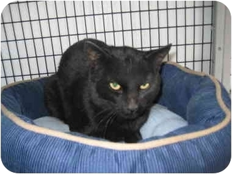 Domestic Shorthair Cat for adoption in Rock Springs, Wyoming - Ragna
