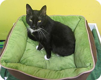 Domestic Mediumhair Cat for adoption in Mobile, Alabama - Gina
