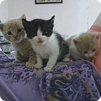 Adopt A Pet :: Bandit - Whitestone, NY