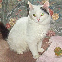 Domestic Mediumhair Cat for adoption in Nepean, Ontario - BANJO