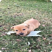 Adopt A Pet :: Squirt - Austin, TX
