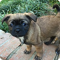 Adopt A Pet :: Bean - Atlanta, GA