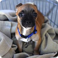 Adopt A Pet :: Cappuchino-Adopted! - Detroit, MI