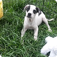 Adopt A Pet :: Oreo - Leming, TX