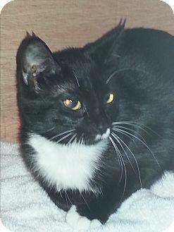 Domestic Shorthair Kitten for adoption in Waxhaw, North Carolina - Stella