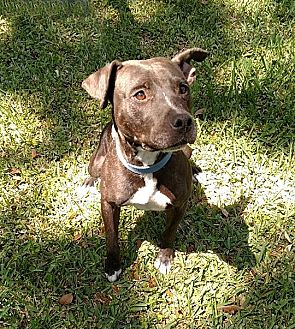 American Pit Bull Terrier/Greyhound Mix Dog for adoption in Lake Pansoffkee, Florida - Mama