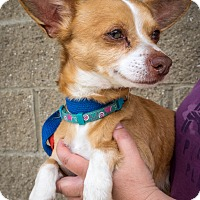 Adopt A Pet :: BJ - Loudonville, NY