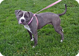 Pit Bull Terrier Mix Dog for adoption in Akron, Ohio - Tracy