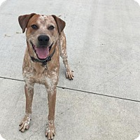 Australian Cattle Dog Dog for adoption in Mt. Pleasant, Michigan - Frog Dog