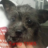 Adopt A Pet :: Turnip - baltimore, MD
