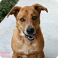 Adopt A Pet :: Ginger - Santa Maria, CA