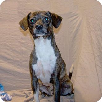 Beagle/Boston Terrier Mix Dog for adoption in Fayetteville, Tennessee - 16-d07-037 Walker