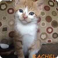 Adopt A Pet :: Rachel - Rare! - Huntsville, ON