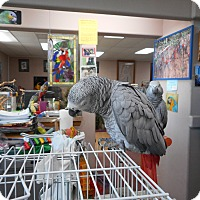 "Adopt A Pet :: ""Libby 1 Spoiled African Grey - Vancouver, WA"