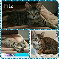 Adopt A Pet :: Fitz - Arlington/Ft Worth, TX