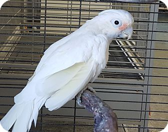Cockatoo for adoption in Grandview, Missouri - Ruby