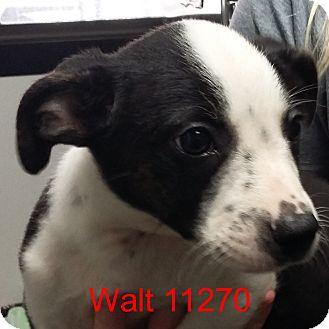 Australian Cattle Dog/Boston Terrier Mix Puppy for adoption in baltimore, Maryland - Walt