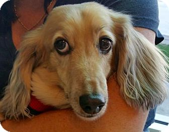 Dachshund Dog for adoption in Los Angeles, California - Oscar Meyer