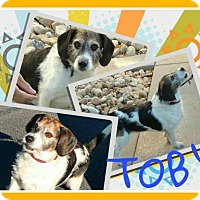 Adopt A Pet :: Toby3 - Fort Collins, CO