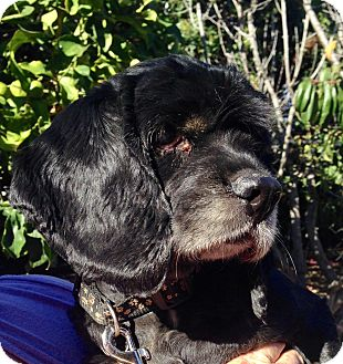Cocker Spaniel Dog for adoption in Santa Barbara, California - Coco