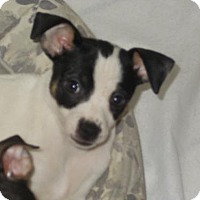 Adopt A Pet :: Noelle - Bristol, CT