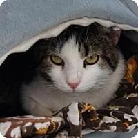 Adopt A Pet :: Thai - New Milford, CT