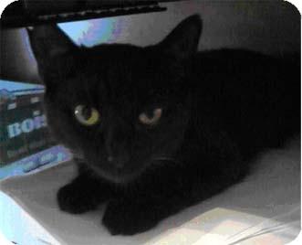 Domestic Shorthair Cat for adoption in Merrifield, Virginia - Brooke