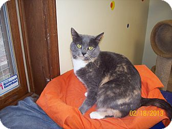 Calico Cat for adoption in Scottsburg, Indiana - Daisy