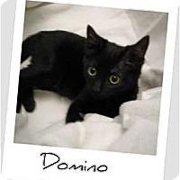 Adopt A Pet :: Delightful Domino - Hurst, TX