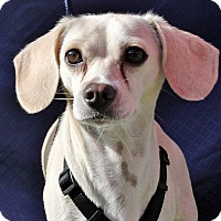 Adopt A Pet :: Snoopy - Redondo Beach, CA