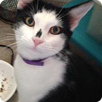 Adopt A Pet :: Lil Buddy - Merrifield, VA