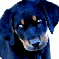 Adopt A Pet :: PENNY(THE SURPRISE PUPPY!!) - Wakefield, RI