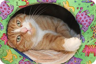 Domestic Shorthair Cat for adoption in Warminster, Pennsylvania - Andy