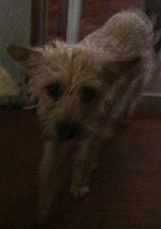Yorkie, Yorkshire Terrier/Poodle (Miniature) Mix Dog for adoption in Visalia, California - Abbigail