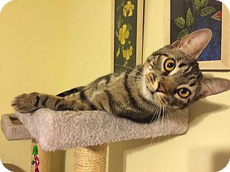 Domestic Shorthair Cat for adoption in East Stroudsburg, Pennsylvania - Noah