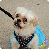 Adopt A Pet :: Harmony - McKinney, TX