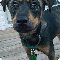 Shepherd (Unknown Type) Mix Dog for adoption in Baltimore, Maryland - Brinley