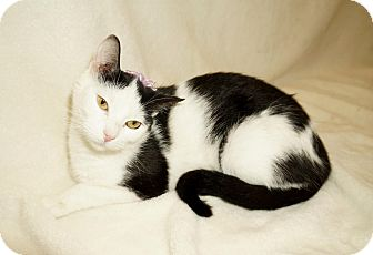 Domestic Shorthair Cat for adoption in Lexington, North Carolina - NINA