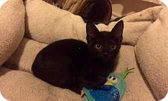 Domestic Shorthair Kitten for adoption in Bulverde, Texas - Boris 2