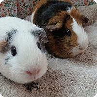 Adopt A Pet :: Winnie & Piglet - Aurora, CO